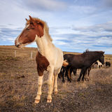 icelandic ponnyer Arkivbilder
