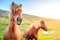 icelandic ponnyer Royaltyfri Fotografi