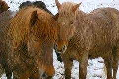 icelandic ponnyer royaltyfria bilder