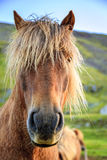 Icelandic pony Stock Photography