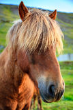 Icelandic pony Stock Images