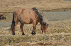 Icelandic Pony in Early Summer Royalty Free Stock Photography