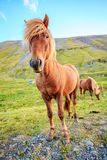 Icelandic pony Royalty Free Stock Images