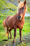 Icelandic pony Royalty Free Stock Image