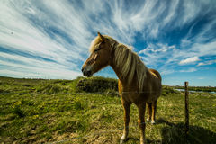 Icelandic pony. The Icelandic pony is known for its strong built and temperment Stock Image