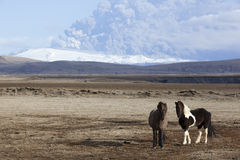 Icelandic Pony Mt. Eyjafjallajokull Volcano Erupti Royalty Free Stock Image