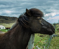 Icelandic pony. Popular by its warm temper and patience the Icelandic pony has won many awards here and abroad Stock Photo