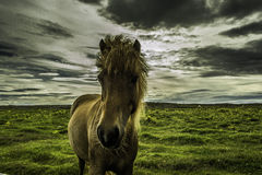 Icelandic pony. Popular by its warm temper and patience the Icelandic pony has won many awards here and abroad Stock Photos