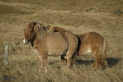 Icelandic horses on a pasture stock images