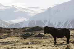 Icelandic pony in wintertime Stock Images