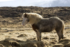 Icelandic pony in wintertime Stock Photography