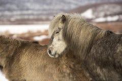Icelandic pony in wintertime Stock Photos