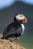 Icelandic Puffin Royalty Free Stock Images