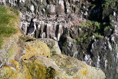 icelandic puffin Royaltyfria Foton