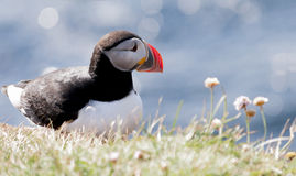 Icelandic puffin. Atlantic puffin (Fratercula arctica) at Látrabjarg cliffs Royalty Free Stock Photography