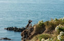 Icelandic puffin and Atlantic ocean Stock Photography