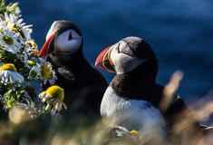 Icelandic Puffin bird couple standing in the flower bushes on the rocky cliff on a sunny day at Latrabjarg, Iceland, Europe.  Stock Photo