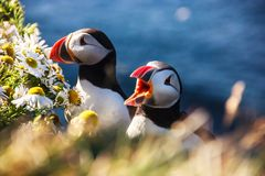 Icelandic Puffin bird couple standing in the flower bushes on the rocky cliff on a sunny day at Latrabjarg, Iceland, Europe.  Stock Photography