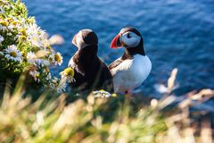 Icelandic Puffin bird couple standing in the flower bushes on the rocky cliff on a sunny day at Latrabjarg, Iceland, Europe.  royalty free stock photo
