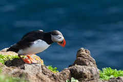Icelandic puffin Stock Photos