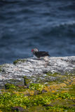 Icelandic puffin with fish in its beak at remote islands, Icela Stock Photography