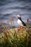 Icelandic Puffin. A lovely coloured puffin with a fish in its beak Royalty Free Stock Photo
