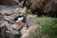 Icelandic puffin Royalty Free Stock Photo