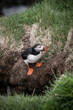Icelandic puffin Royalty Free Stock Photography