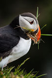 Icelandic Puffin looking over ocean Royalty Free Stock Photos