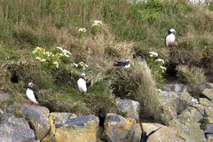 Icelandic puffins on a cliff stock photos