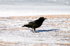 Icelandic raven. The Raven of Iceland and Faeroe Islands is a sub species of the common raven Stock Image