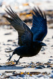 Icelandic raven. The Raven of Iceland and Faeroe Islands is a sub species of the common raven Royalty Free Stock Photos