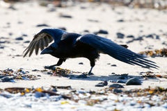 Icelandic raven. The Raven of Iceland and Faeroe Islands is a sub species of the common raven Royalty Free Stock Image