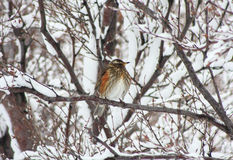 Icelandic Redwing in snowy scene. Medium close up of Icelandic Redwing in habitat. Shot in Husavik, Iceland Stock Image