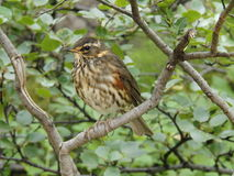 Icelandic redwing (Turdus iliacus) sitting in a birch bush Royalty Free Stock Images