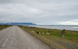 Icelandic ring road and sheep Stock Photos