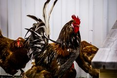 Icelandic Rooster with his friends. stock photos