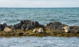 Icelandic seals resting on rocks Stock Photos