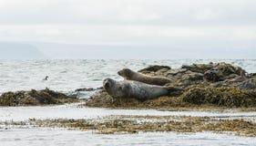 Icelandic seals resting on rocks Stock Photography