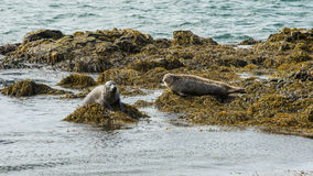 Icelandic seals resting on rocks Royalty Free Stock Images