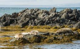 Icelandic seals resting on rocks Royalty Free Stock Photo
