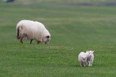 Icelandic sheep íslenska sauðkindin royalty free stock images