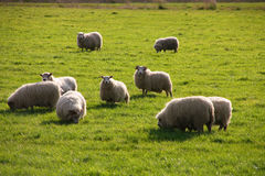 Icelandic Sheep royalty free stock photography