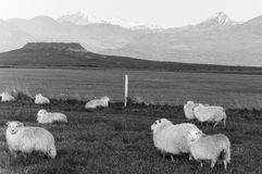 Icelandic Sheep in black & white Royalty Free Stock Photography