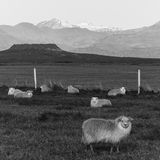 Icelandic Sheep in black & white Stock Image