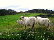 Icelandic sheep. The Icelandic breed is one of the Northern European short-tailed sheep, which exhibit a fluke-shaped, naturally short tail Royalty Free Stock Photo