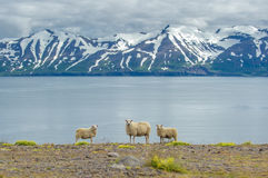 Icelandic sheep Stock Photos