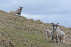 Icelandic sheep family Royalty Free Stock Photos