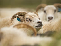 Icelandic sheep Stock Image
