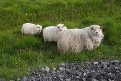 Icelandic sheep graze. Three white icelandic sheep graze in Iceland Stock Photos